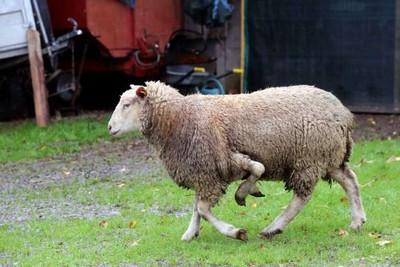 Drole d'animaux  Mouton10