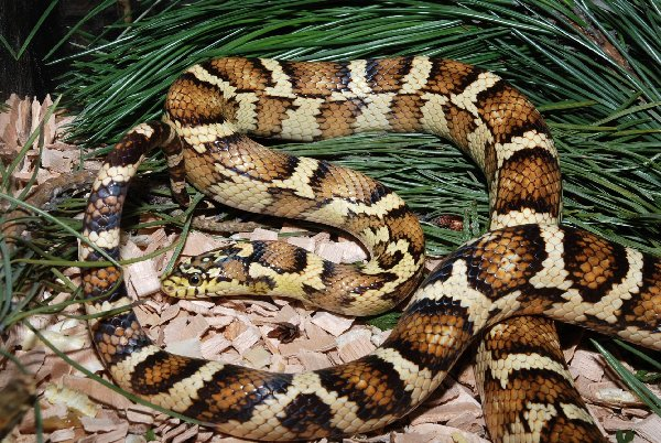 Pantherophis guttatus phases Jungle11