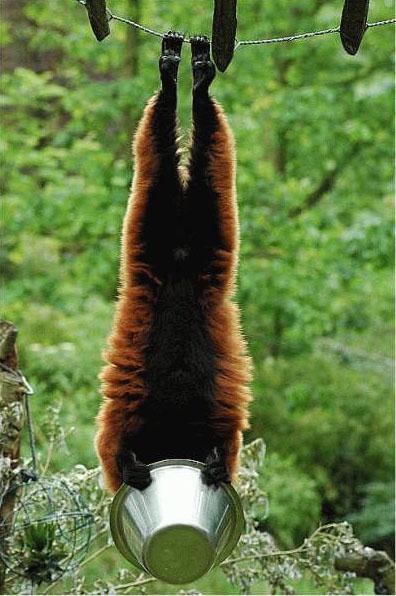 Lémurien croisé avec une chauve souris Y_a_pl10