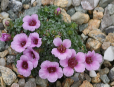 Saxifrages S_alle10