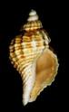 [résolu]Coquillage de Léognan, Circulus miobicarinatus (SACCO, 1896) Loag-210