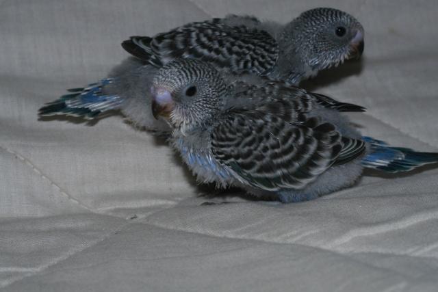 Ma perruche a un comportement bizar Img_9411