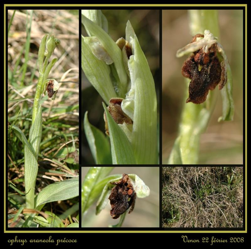Ophrys araneola precoce Rarane10