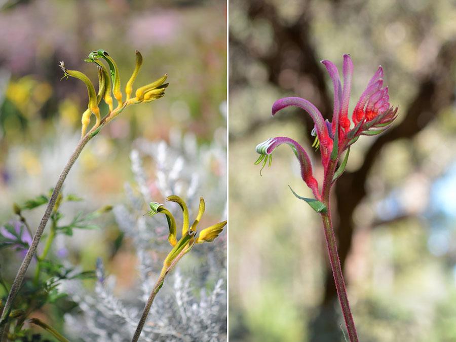 Quelques orchidées du Sud Ouest Australien Dsc_0042