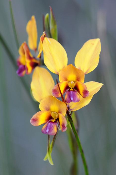 Quelques orchidées du Sud Ouest Australien Dsc_0123