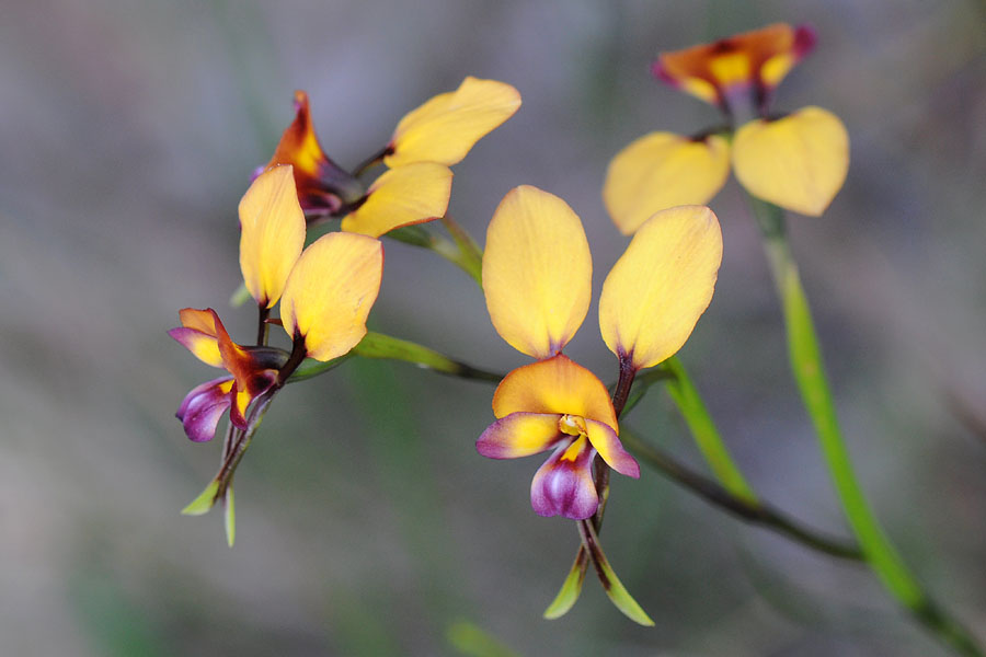 Quelques orchidées du Sud Ouest Australien Dsc_0124
