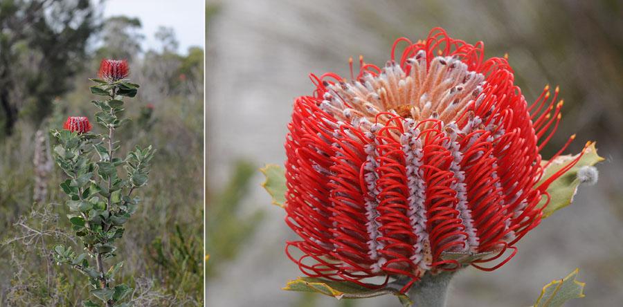 Quelques orchidées du Sud Ouest Australien - Page 2 Dsc_0126