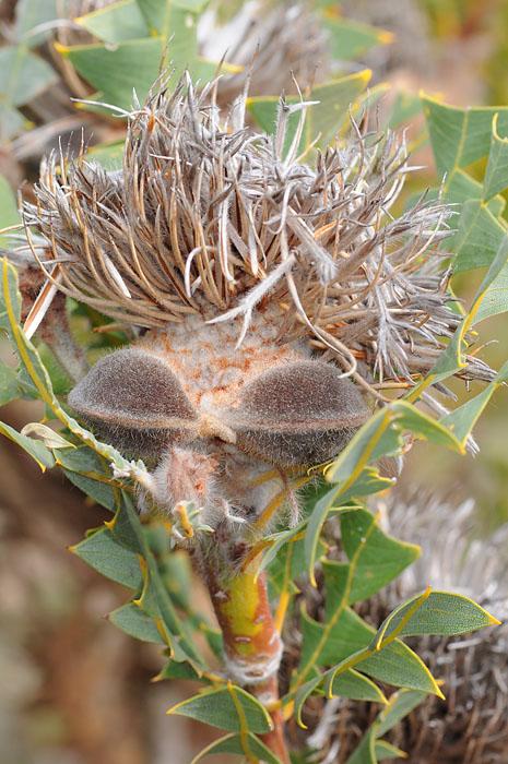 Quelques orchidées du Sud Ouest Australien - Page 2 Dsc_0127