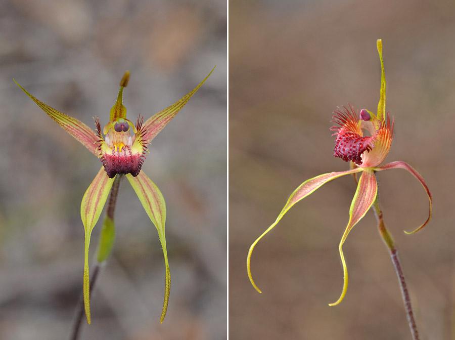 Quelques orchidées du Sud Ouest Australien - Page 3 Dsc_0128
