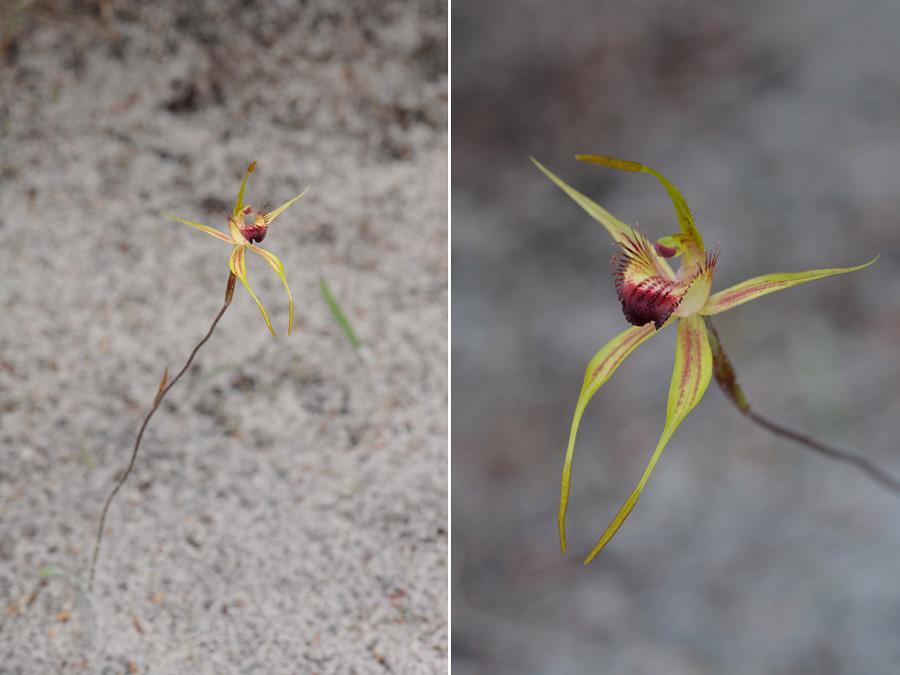 Quelques orchidées du Sud Ouest Australien - Page 3 Dsc_0129