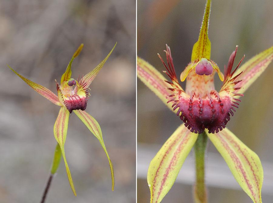 Quelques orchidées du Sud Ouest Australien - Page 3 Dsc_0130