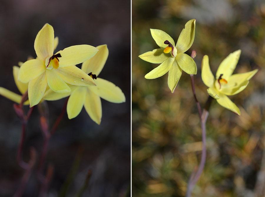 Quelques orchidées du Sud Ouest Australien - Page 2 Dsc_0219