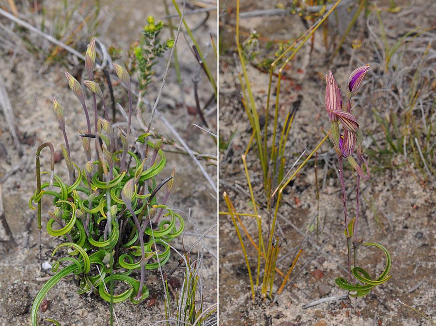 Quelques orchidées du Sud Ouest Australien - Page 3 Dsc_0220