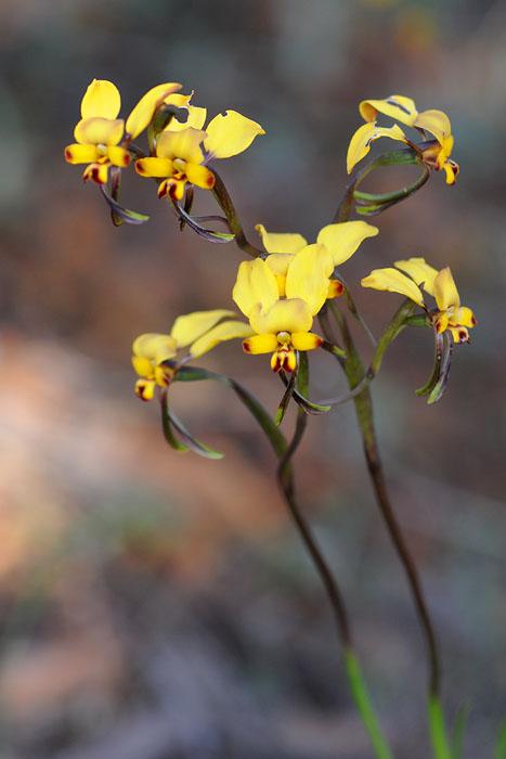 Quelques orchidées du Sud Ouest Australien Dsc_0319