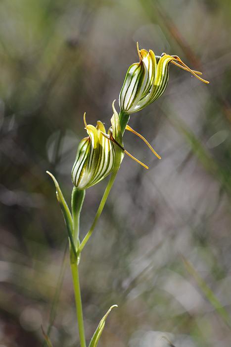 Quelques orchidées du Sud Ouest Australien Dsc_0426