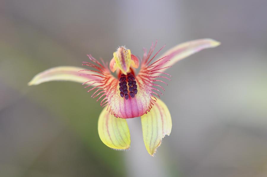 Quelques orchidées du Sud Ouest Australien Dsc_0427