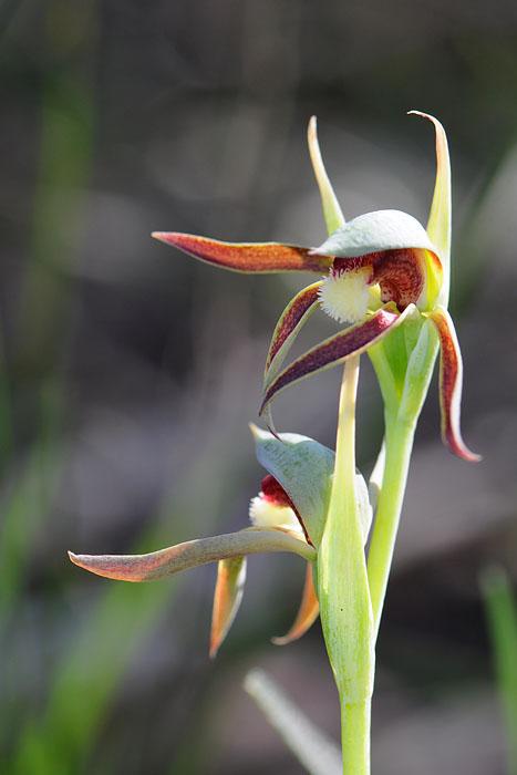 Quelques orchidées du Sud Ouest Australien Dsc_0428