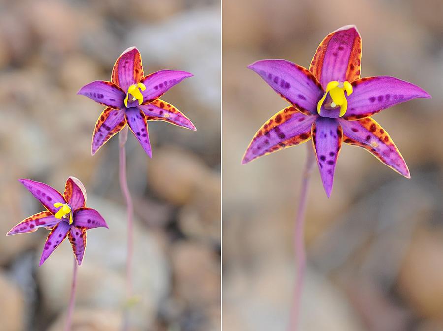 Quelques orchidées du Sud Ouest Australien - Page 3 Dsc_0431