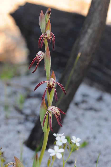 Quelques orchidées du Sud Ouest Australien Dsc_0510