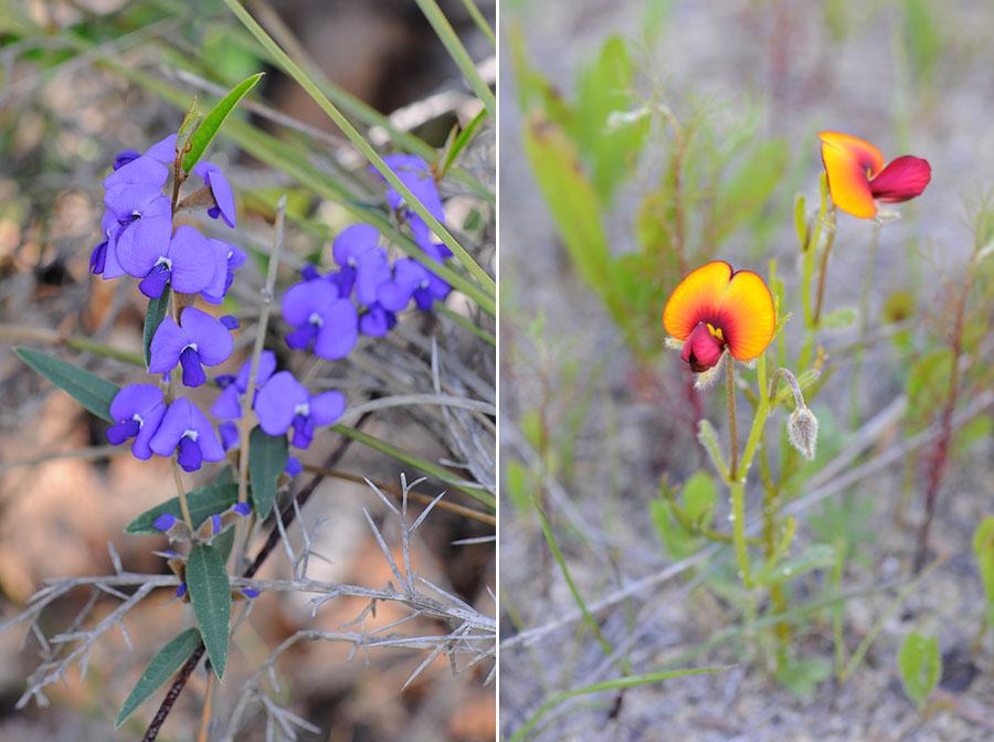 Quelques orchidées du Sud Ouest Australien Dsc_0511