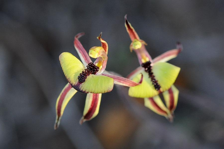 Quelques orchidées du Sud Ouest Australien - Page 2 Dsc_0512
