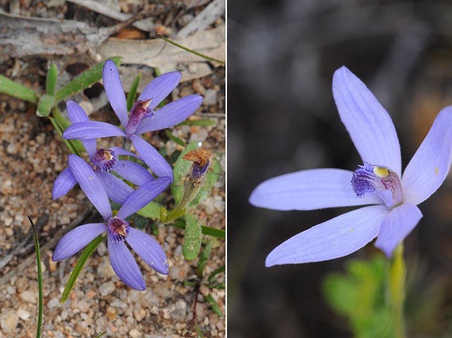 Quelques orchidées du Sud Ouest Australien - Page 2 Dsc_0513