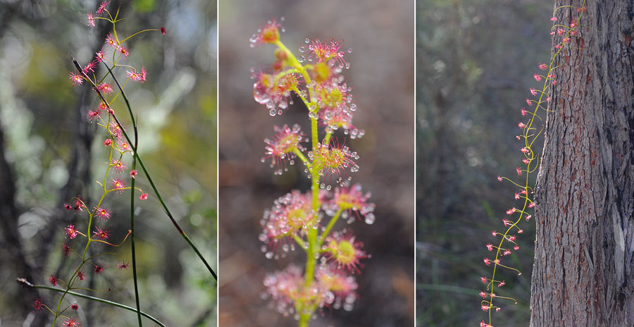 Quelques orchidées du Sud Ouest Australien Dsc_0715