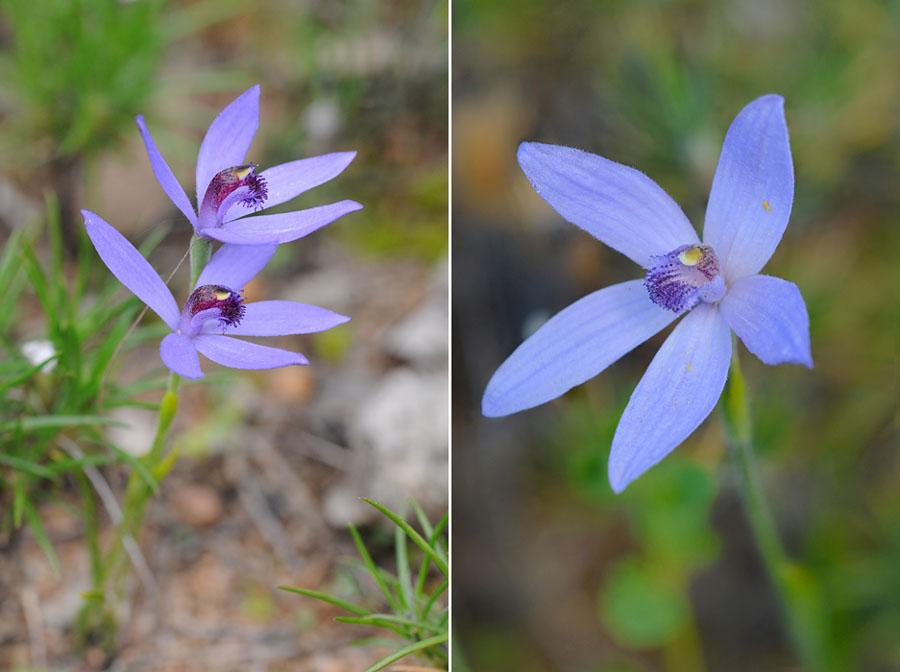 Quelques orchidées du Sud Ouest Australien - Page 2 Dsc_0716