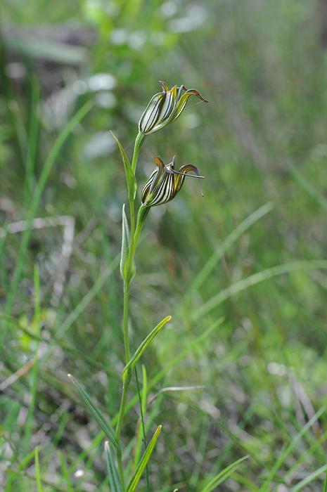 Quelques orchidées du Sud Ouest Australien Dsc_0813