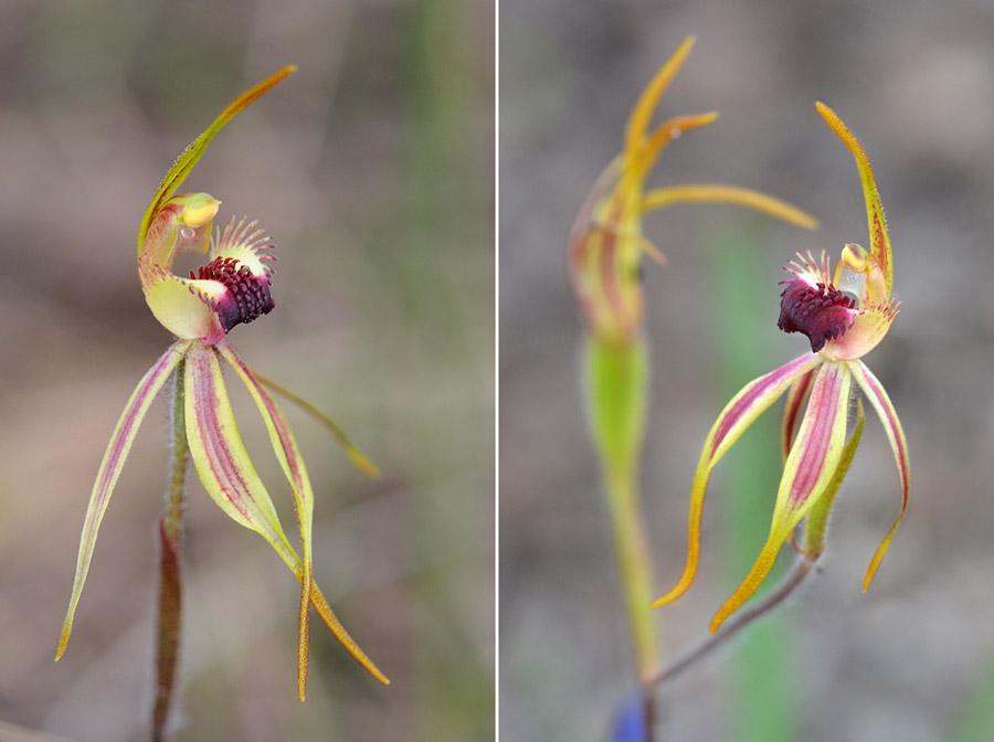 Quelques orchidées du Sud Ouest Australien - Page 3 Dsc_0815