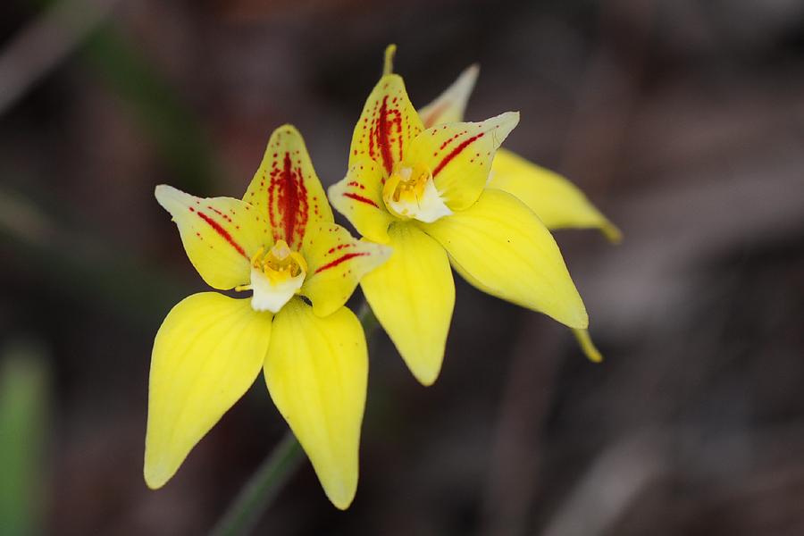 Quelques orchidées du Sud Ouest Australien Dsc_0910