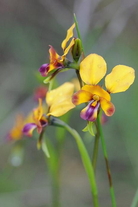 Quelques orchidées du Sud Ouest Australien Dsc_0915