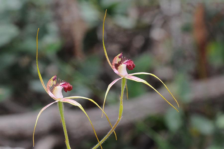 Quelques orchidées du Sud Ouest Australien Dsc_0916