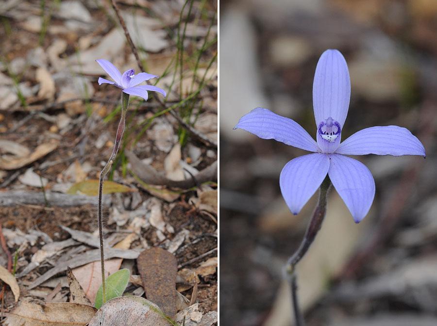 Quelques orchidées du Sud Ouest Australien - Page 2 Dsc_1011