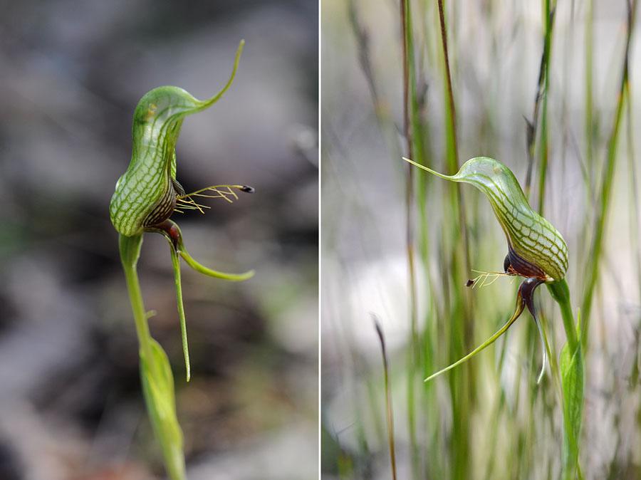 Quelques orchidées du Sud Ouest Australien - Page 2 Dsc_1012