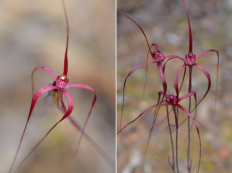 Quelques orchidées du Sud Ouest Australien - Page 3 Dsc_1015