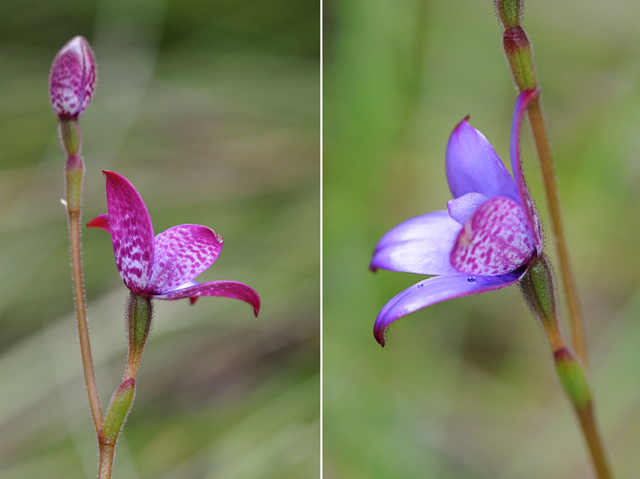 Quelques orchidées du Sud Ouest Australien - Page 4 Dsc_1117