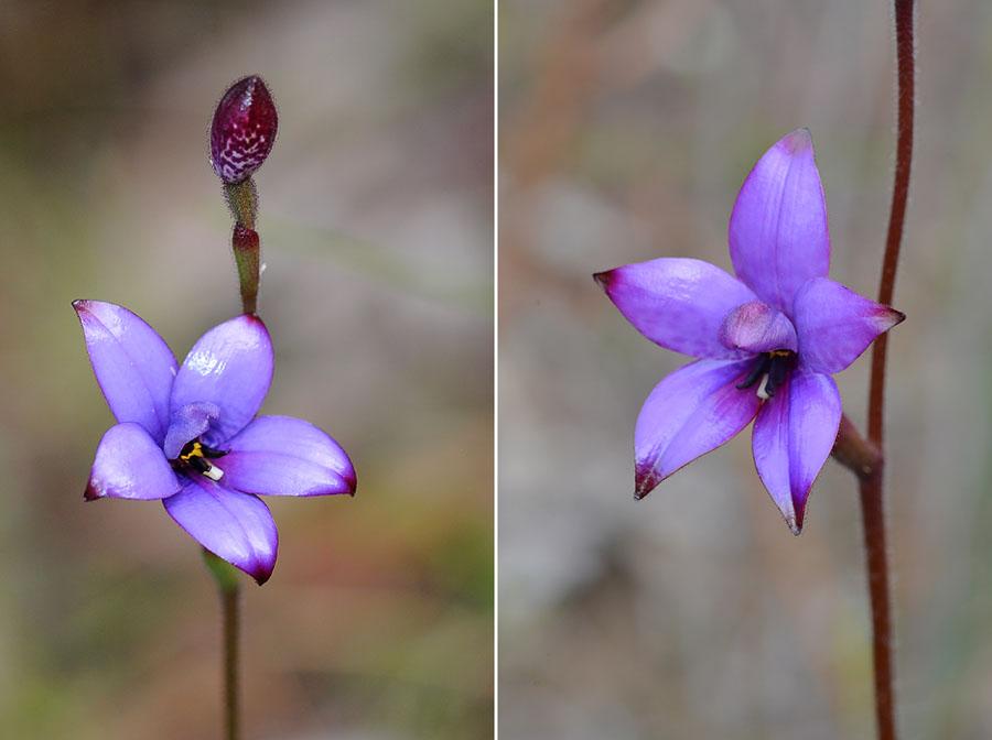 Quelques orchidées du Sud Ouest Australien - Page 4 Dsc_1118