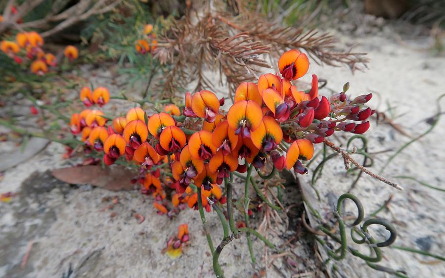 Quelques orchidées du Sud Ouest Australien - Page 3 Img_0110