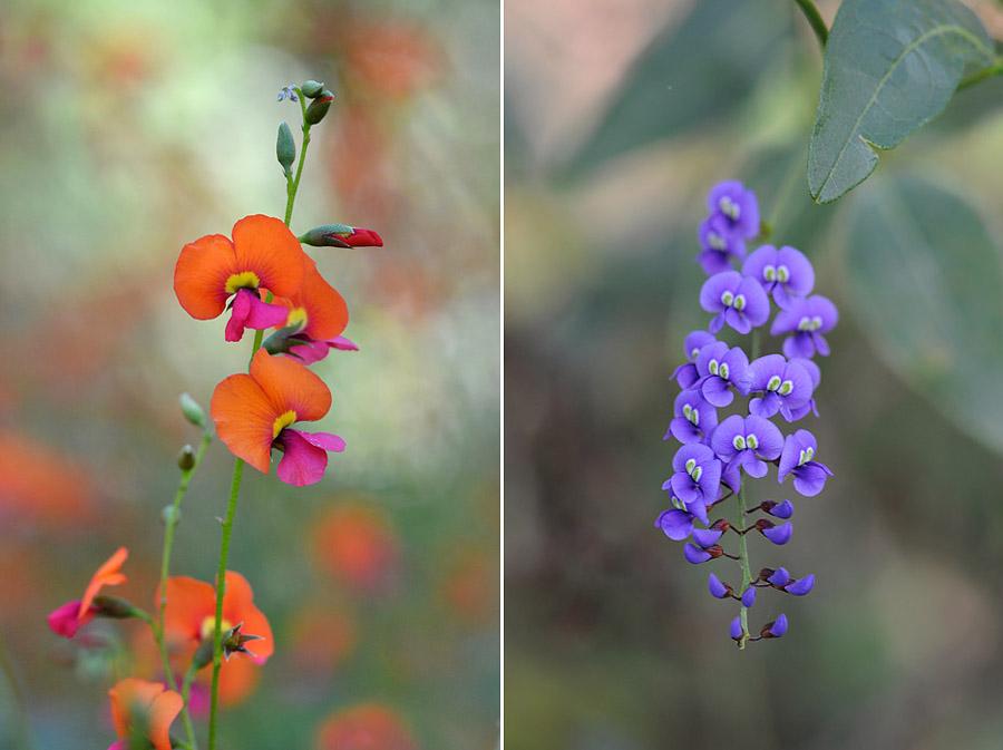 Quelques orchidées du Sud Ouest Australien Jlr_7610