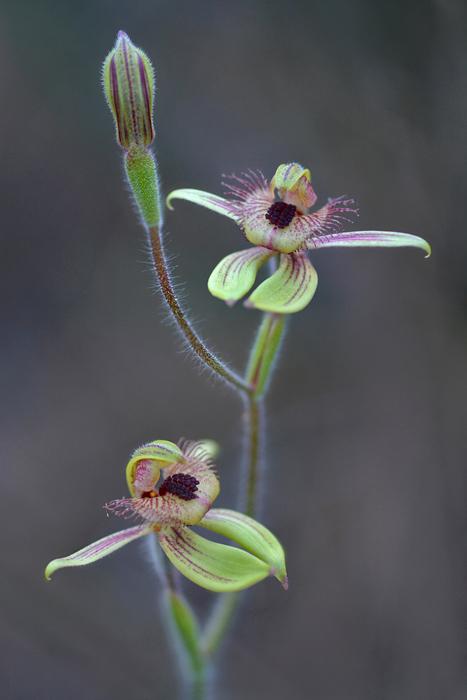 Quelques orchidées du Sud Ouest Australien Jlr_7711