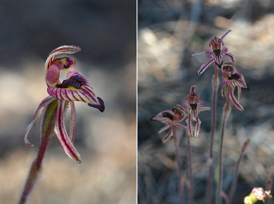 Quelques orchidées du Sud Ouest Australien - Page 2 Jlr_7712