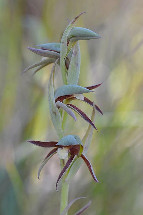 Quelques orchidées du Sud Ouest Australien Jlr_7810