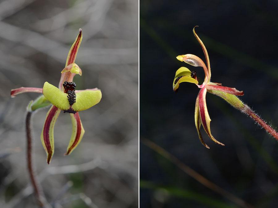 Quelques orchidées du Sud Ouest Australien - Page 2 Jlr_7811