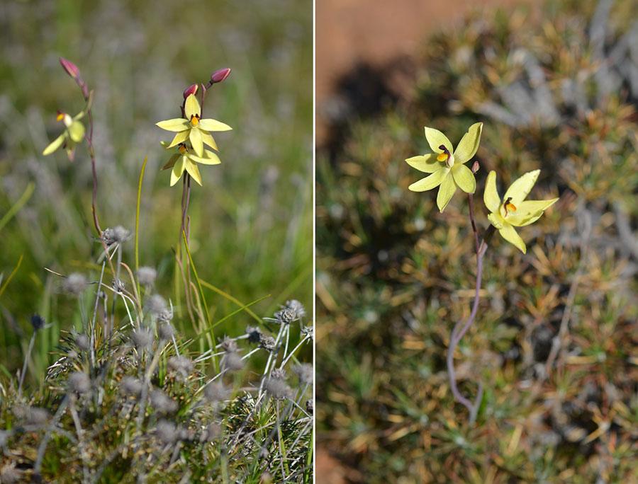 Quelques orchidées du Sud Ouest Australien - Page 2 Jlr_7812