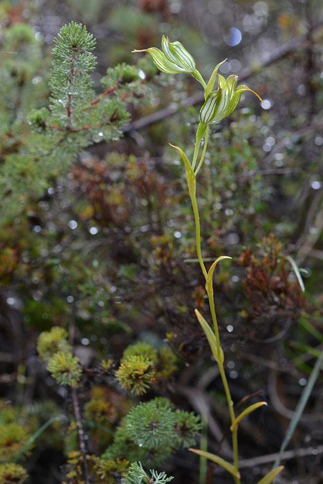 Quelques orchidées du Sud Ouest Australien Jlr_7910