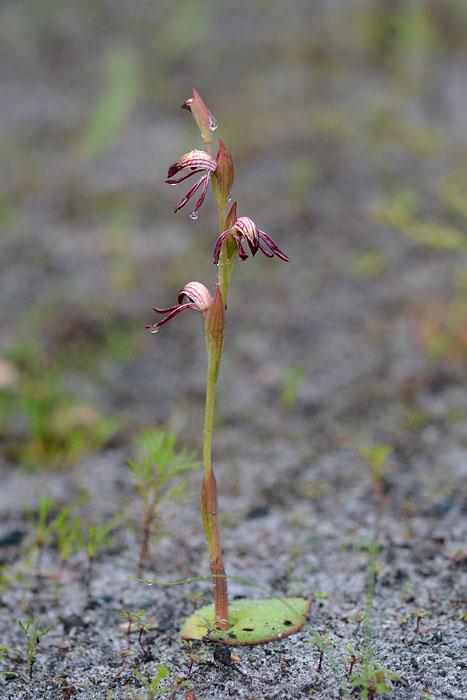 Quelques orchidées du Sud Ouest Australien Jlr_7912