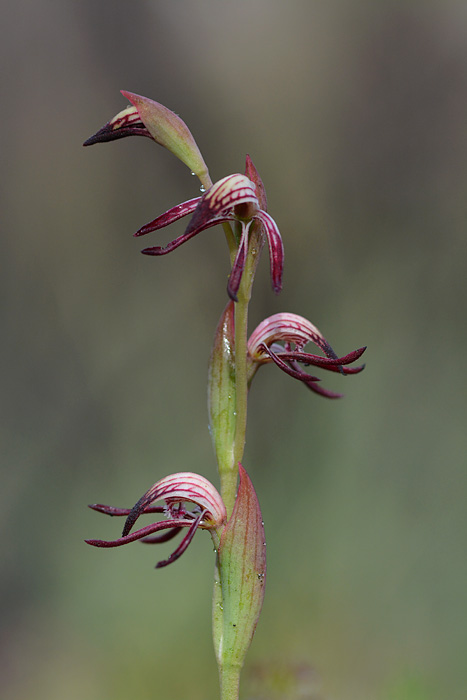Quelques orchidées du Sud Ouest Australien Jlr_7913