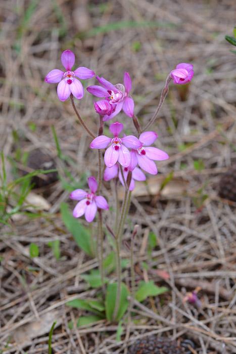 Quelques orchidées du Sud Ouest Australien Jlr_8011