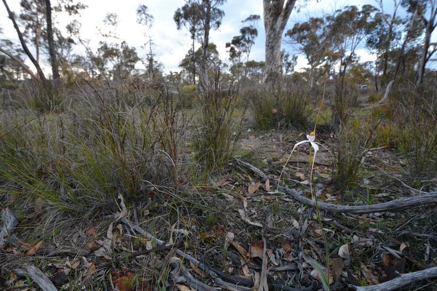 Quelques orchidées du Sud Ouest Australien - Page 3 Jlr_8110
